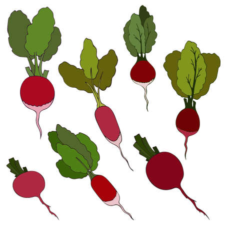 Collection of Root vegetables or bright radishes, fresh vegetable with green leaves. Flat vector illustration. Summer season