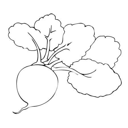 Contour image of Root or beetroot, vegetable with leaves. Line art by hand. Summer season. Vector illustration.