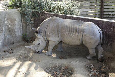 Beautiful Gray Rhino. Ancient wild animal in the zoo