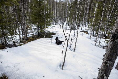 Little dog walks through the snow in a forest of firs and birches. Spring landscape of karelia