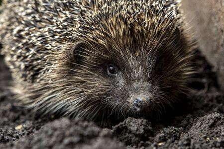 Close-up portrait of a hedgehog. A wild animal in the home garden Stock Photo