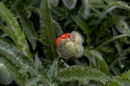 Bud head poppy flower blooms. Background, illustrating the blossoming or transformation