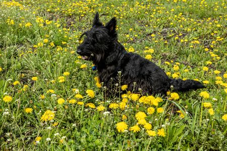 Scotch Terrier walks through the meadow with dandelions