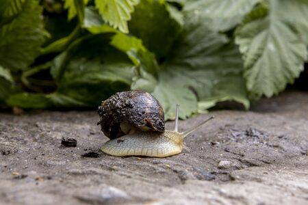beautiful grape snail crawling on the ground along the leaf