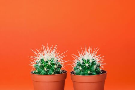 Two small green cactus in orange pot on orange background. Copy space for text.