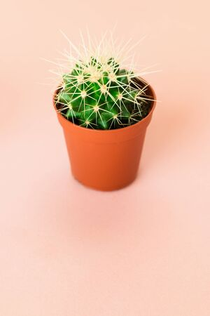 Small green cactus in orange pot on pink background. Copy space for text. Stock Photo