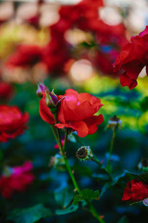 Bud red tea roses on a background of green foliage Stock Photo