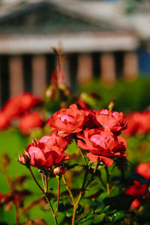 Bud red tea roses with St. Isaacs Cathedral in summer in Sunny weather, St. Petersburg, Russia, 2017