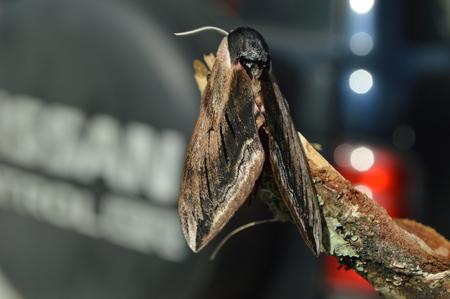 moth: owlet moth