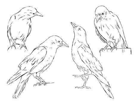 sketch illustration of 4 crows Vector