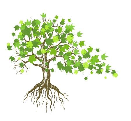 raices de plantas: del �rbol de arce con hojas verdes