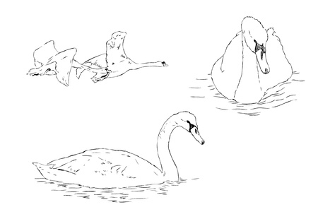 sketch illustration of 4 swans