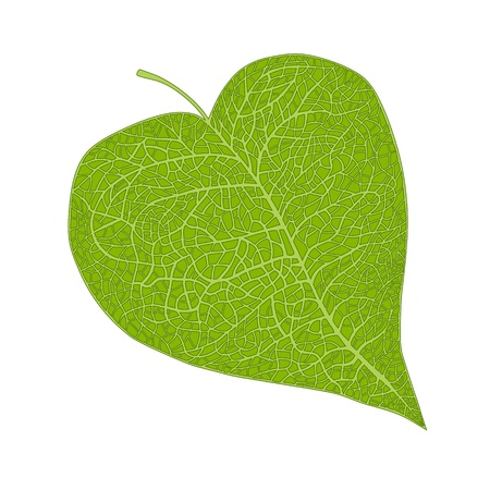 heart shaped leaf isolated on white Vector