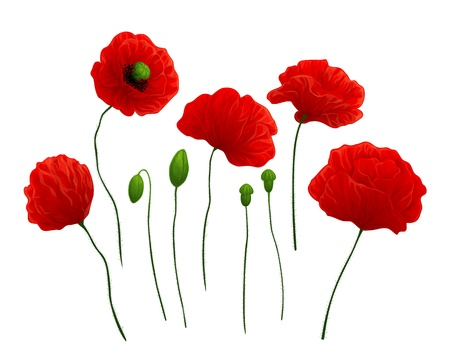 Beautiful red poppies on white background Stock Vector - 12357445
