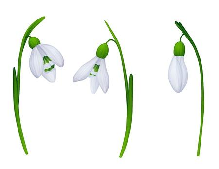 snowdrop: 3 snowdrops on white background