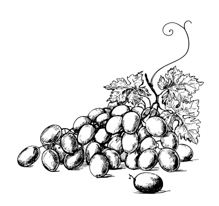 grapes wine: Sketch illustration of bunch of grapes