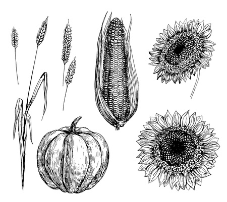 sunflower seeds: Hand drawn illustration of wheat, corn, pumpkin and sunflowers Illustration
