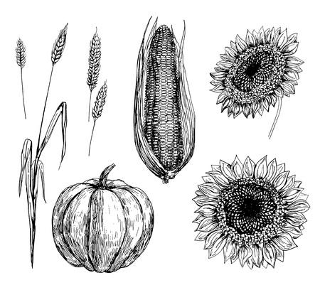 Hand getrokken illustratie van tarwe, maïs, pompoen en zonnebloemen Stockfoto - 14388581