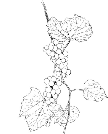 clusters: Sketch illustration of grapes with leaves