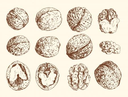 frutas secas: Conjunto de hechos a mano de nueces Vectores