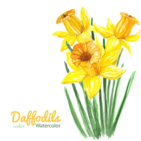 daffodil: Watercolor illustration. Bouquet of three daffodils on white background with space for text. Illustration