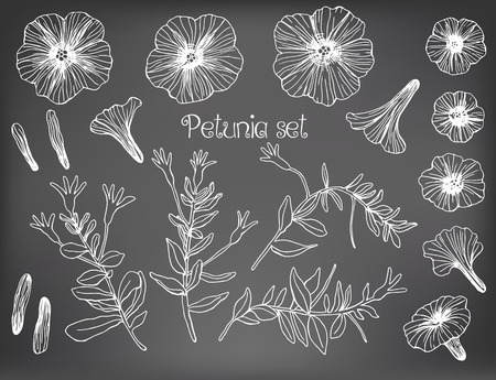 petunia: Collection of hand drawn petunia flowers and stems with leaves. Design elements on chalkboard background.