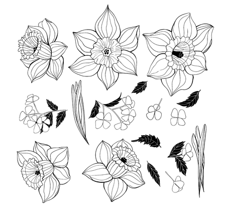 garden plant: Collection daffodils, spring flowers and leaves. Elements for design. Illustration