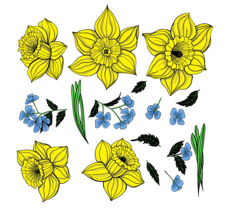 forget me not: Collection daffodils, spring flowers and leaves. Elements for design. Illustration