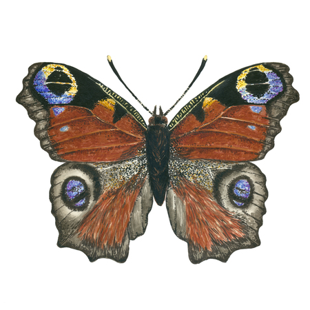 Peacock butterfly painted with watercolors and ink. Stock Photo