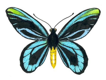 Papillon aile de la reine Alexandra peint avec des stylos à encre sur fond blanc. Banque d'images - 90231612
