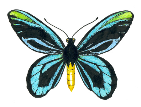 Queen Alexandra s birdwing butterfly painted with ink pens on white background.