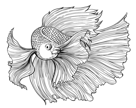 Vector drawing of siamese fighting fish on white background.