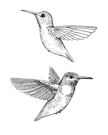 Set of 2 hand drawn hummingbirds on white backdrop Elements for design. Illustration