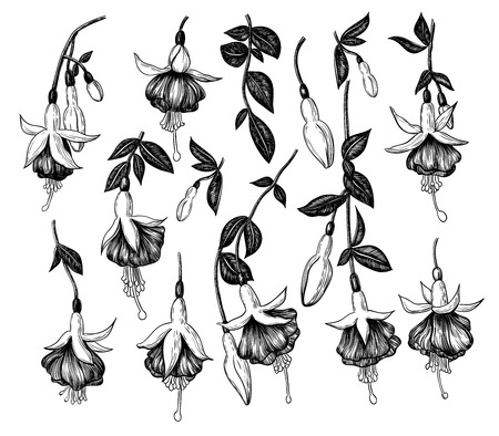 Colection of hand drawn fuchsia flowers on white background. Elements for design.