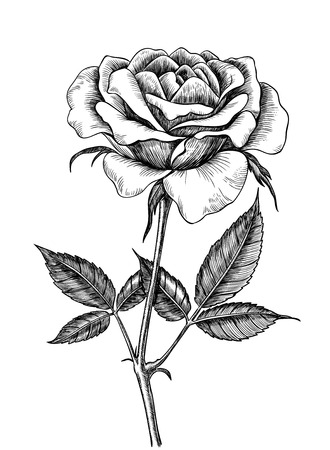 Hand drawn rose isolated on white background. Element for design.