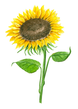 Sunflower painted with watercolors isolated on white, element for design.