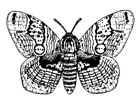 Hand drawn illustration of a brahmin moth on white background.