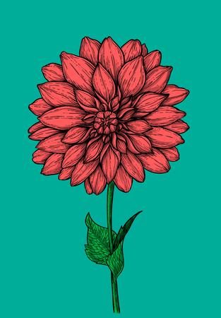Dahlia flower hand drawn illustration. Ilustrace
