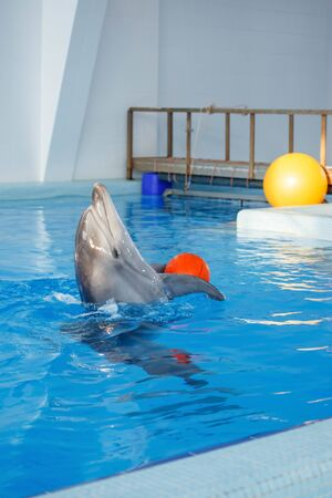 Dolphin in the indoor pool playing with balls, active playful mammal