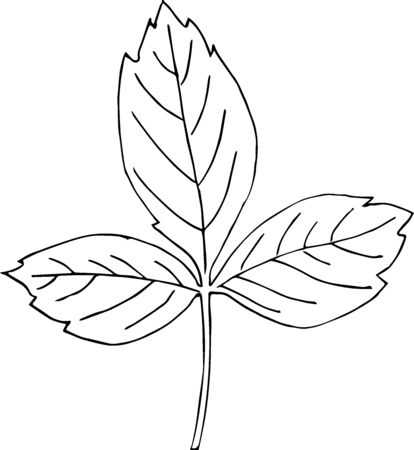 Cute hand drawn boxelder maple leaf in doodle style isolated on white background. Sketch elements set for graphic and web design.