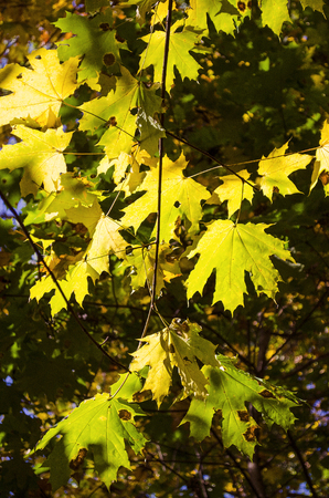 yellowing leaves on the trees in autumn in the park