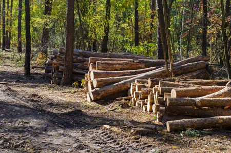 felled: lot of cut tree trunks in the forest, logging