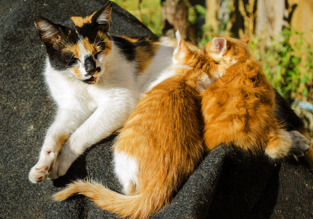 Cat feeds red kitten two little kittens with her milk