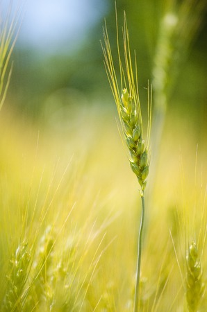 Golden ears of wheat on the field Stock Photo