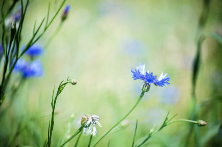 landscape of summer field from blue cornflower