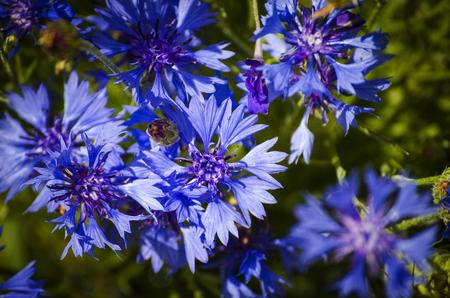 landscape of summer field from blue cornflower