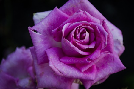 Beautiful rose blooming in the garden close up