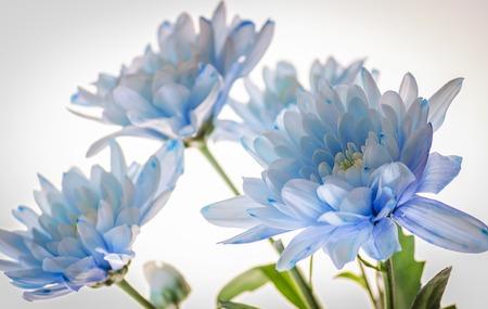 Crisantemo azul cerca sobre un fondo blanco.