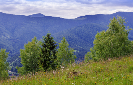 picturesque landscape of Carpathian mountains in summer with coniferous forest in the foreground 写真素材