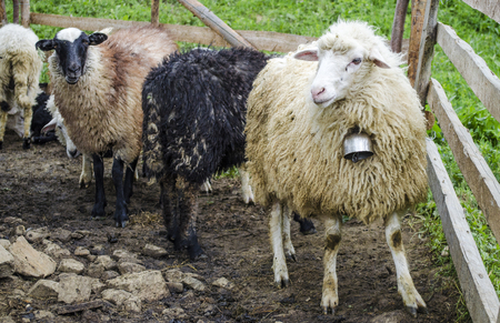 Sheep on a farm in the mountains of western Ukraine Stock fotó
